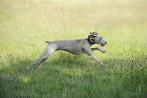 JD-20793 Weimaraner Dog - running through field