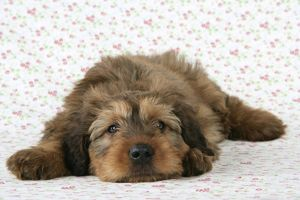 JD-20796 Briard Dog - puppy lying down with flower background