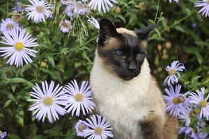 JD-20824 CAT. Siamese x Balinese Seal Point