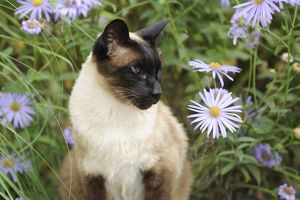 JD-20825 CAT. Siamese x Balinese Seal Point