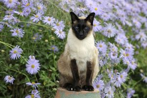 JD-20826 CAT. Siamese x Balinese Seal Point