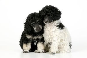 JD-20900 Dog. Toy poodles (party and phantom colour, 9 weeks old)