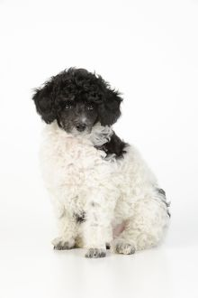 JD-20901 Dog. Toy poodles (party colour, 9 weeks old)