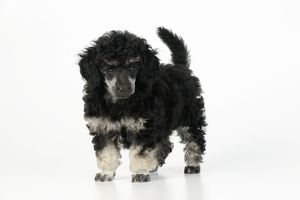 JD-20902 Dog. Toy poodles (phantom colour, 9 weeks old)