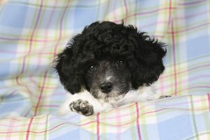 JD-20903 Dog. Toy poodle (party colour, 9 weeks old)
