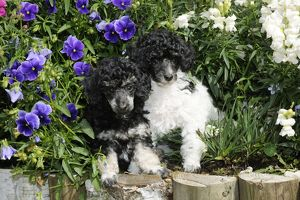 JD-20905 Dog. Toy poodles (party and phantom colour, 9 weeks old) in flowers