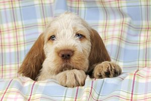 JD-20907 Dog. Spinone puppy (8 weeks old)
