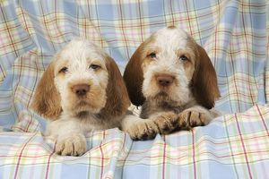 JD-20908 Dog. Spinone puppies (8 weeks old)