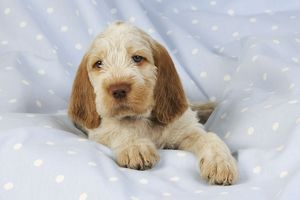 JD-20916 Dog. Spinone puppy (8 weeks) lying down