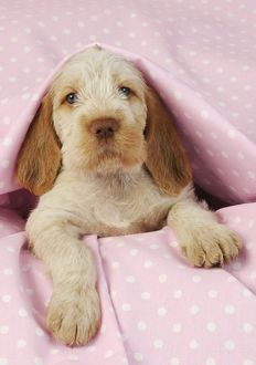 JD-20917-M-C Dog. Spinone puppy (8 weeks) lying down on pink background