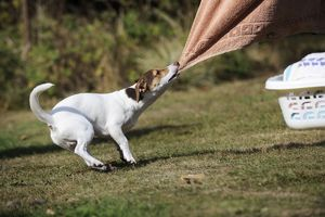 JD-20969 DOG. Jack russell terrier pulling washing off washing line
