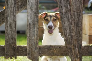 JD-20974 DOG. Jack russell terrier looking through garden fence