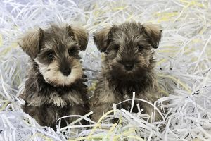JD-20977 DOG. Schnauzer puppies sitting in paper shreddings