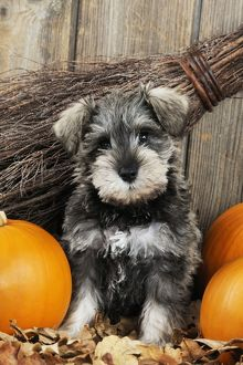 JD-20988 DOG. Schnauzer puppy sitting in leaves with broom and pumpkins