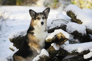 JD-21035 DOG. Pembroke welsh corgi standing on snow covered logs