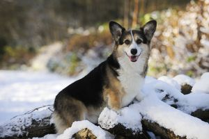 JD-21036 DOG. Pembroke welsh corgi standing on snow covered logs