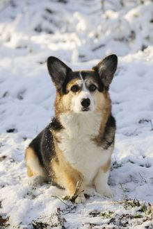 JD-21045 DOG. Pembroke welsh corgi sitting in the snow