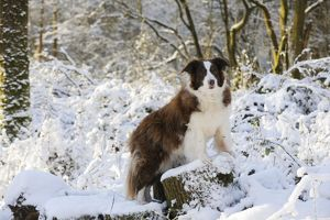 JD-21047 DOG. Border collie standing on snow covered tree stump