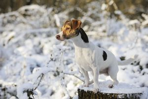 JD-21049 DOG. Jack russell terrier standing on snow covered tree stump