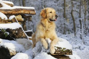JD-21059 DOG. Golden retriever lying on snow covered logs