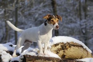 JD-21064 DOG. Jack russell terrier standing on snow covered logs