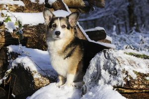 JD-21065 DOG. Pembroke welsh corgi standing on snow covered logs
