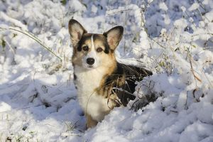 JD-21066 DOG. Pembroke welsh corgi standing in the snow