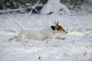 JD-21073 DOG. Jack russell terrier running through the snow