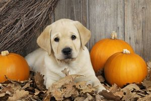 JD-21076 DOG. Labrador (8 week old pup)with pumpkins