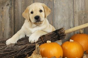 JD-21077 DOG. Labrador (8week old pup) with pumpkins