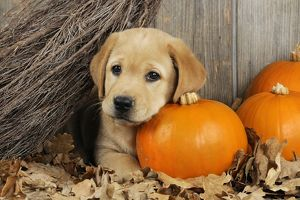 JD-21079 DOG. Labrador (8 week old pup) with Pumpkins & broom