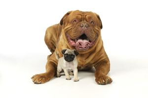JD-21116 DOG. Pug puppy (5wks old ) with Dogue De Bordeaux.