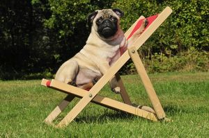JD-21119 DOG. Pug in a deck chair