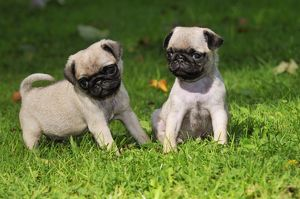 JD-21120 DOG. Pug puppies ( 6 wks old )