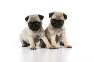 JD-21128 DOG. Pug puppies ( 6 wks old )