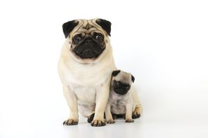 JD-21131 DOG. Pug adult with puppy ( 6 wks old )