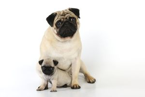 JD-21132 DOG. Pug adult with puppy ( 6 wks old )