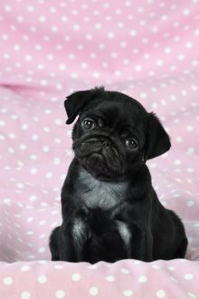 JD-21140-M DOG. Black Pug puppy ( 8 wks old )