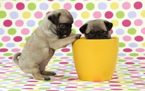 JD-21147 DOG. Pug puppies ( 6 wks old ) in a yellow pot