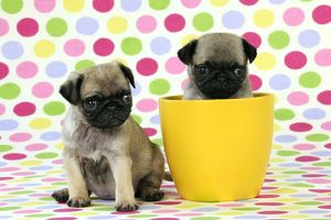 JD-21148 DOG. Pug puppies ( 6 wks old ) in a yellow pot