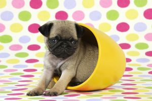 JD-21150 DOG. Pug puppy ( 6 wks old ) in a yellow pot