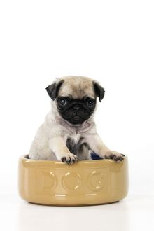 JD-21151 DOG. Pug puppy ( 6 wks old ) in a large dog bowl