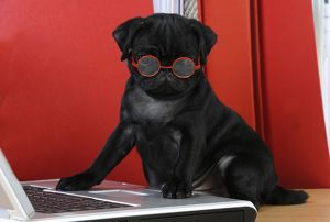 JD-21154-C DOG. Black Pug puppy ( 6 wks old ) at the computer wearing red glasses