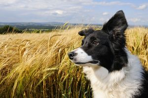 JD-21188 Dog. Border Collie in field