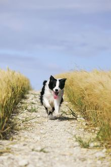 JD-21204 Dog. Border Collie running down path through field