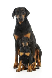 JD-21217 Dog. Dobermann puppy and adult