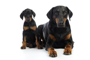 JD-21218 Dog. Dobermann puppy and adult