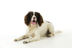 JD-21229 DOG. English springer spaniel lying down