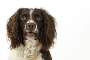 JD-21231 DOG. English springer spaniel head shot