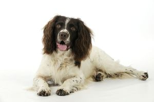 JD-21233 DOG. English springer spaniel lying down